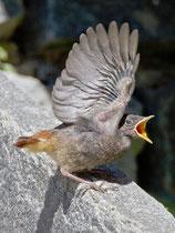 Hausrotschwanz (Phoenicurus ochruros), Jungvogel bettelt um Futter, Intragna TI