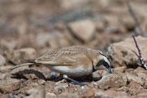 Saharaohrenlerche (Eremophila bilopha), Boumalne, Marokko