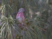 Bluthänfling (Carduelis cannabina) M, Fuerteventura