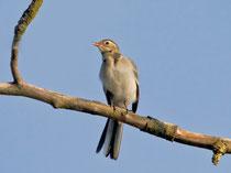 Bachstelze (Motacilla alba), Jungvogel, Limmatspitz