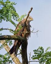 Schwarzmilan (Milvus migrans), Limmatspitz