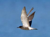 Trauerseeschwalbe PK (Chlidonias niger), Klingnauer Stausee
