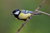 Kohlmeise (Parus major), Villnachern