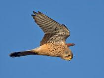 Turmfalke W (Falco tinnunculus), Möhlin AG