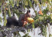 Eichhörnchen frisst einen Pilz, Gurnigel