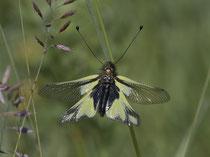 Libellen-Schmetterlingshaft (Libelloides coccajus), Leuk VS