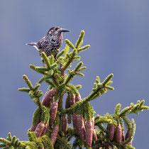 Tannenhäher (Nucifraga caryocatactes), Gurnigel