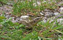 Zauneidechse (Lacerta agilis), Villnachern