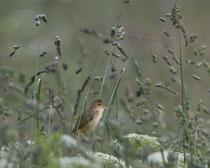 Sumpfrohrsänger (Acrocephalus palustris), Geschinen VS - singt oft im hohen Gras