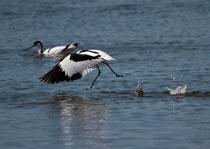 Säbelschnäbler (Recurvirostra avosetta), Ria Formosa, Portugal