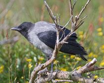 Nebelkrähe (Corvus Cornix), Jungvogel, Vadso/Varanger, Norwegen