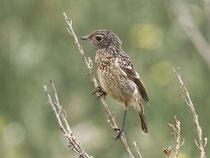 Schwarzkehlchen (Saxicola torquatus), Jungvogel, Es Calobrar, Mallorca