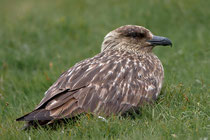 Skua (Stercorarius skua), Shetland GB