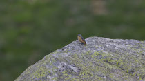 Steinrötel (Monticola saxatilis) juveniles Männchen, Airolo TI