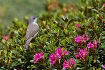 Klappergrasmücke (Sylvia curruca), Airolo TI