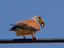 Rötelfalke (Falco naumanni), Trujillo Extremadura E