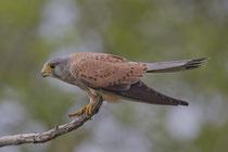 Turmfalke M (Falco tinnunculus), Hortobagy, Ungarn