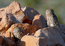Steinkauz (Athene noctua), Massa-Nationalpark / Marokko