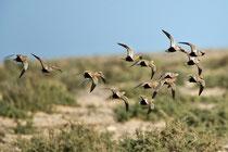 Sandflughuhn (Pterocles orientalis), Fuerteventura, Spanien