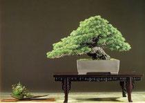 五葉松  国風盆栽展 出品