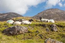 irische Schafe