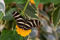 "Heliconius charithonia ""Zebrafalter"""