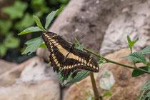 """Papilio thoas """"Königspage"""""""