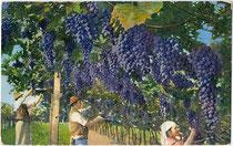"""Vendemmia (Traubenlese)"". Ernteszene aus Südtirol. Photochromdruck 9 x 14 cm; Impressum: Lorenz Fränzl, Bozen um 1910.  Inv.-Nr. vu914pcd00210"
