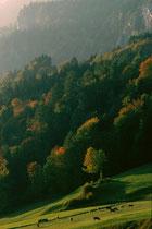 Herbstweide von Großvieh nach der Almabfahrt oberhalb vom Krummsee in Kramsach. Farbdiapositiv 24 x 36 mm; © Johann G. Mairhofer 1983. Inv.-Nr. dc135kd5073.03_14
