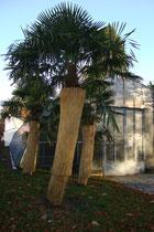Mit Kokosmatten als Winterschutz ummantelte Palmen beim Palmenhaus im Hofgarten von Innsbruck im Eigentum der Bundesgärten des Bundesministeriums f. Nachhaltigkeit u. Tourismus. Digitalphoto; © Johann G. Mairhofer 2014.  Inv.-Nr. 2DSC01695