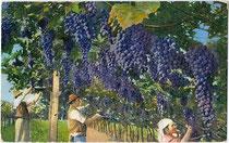 """Vendemmia (Traubenlese)"". Ernteszene aus Südtirol. Photochromdruck 9x14cm; Impressum: Lorenz Fränzl, Bozen um 1910.  Inv.-Nr. vu914pcd00210"