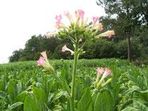 fleurs de tabac, elles sont coupées avant maturité