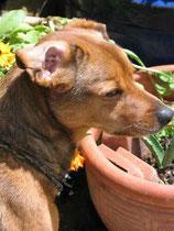 Herr Rossi,4Jahre, wurde als Fundhund aus Sorano für ein paar Tage bei uns geparkt.....es sind Jahre daraus geworden