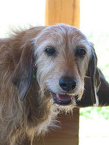 Merle, 12Jahre, unser erster Segugio.Sie sollte erschossen werden, weil sie jagduntauglich war.