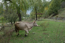 Kuh auf Picknickplatz