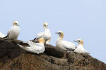 Vogelfelsen der Sept Iles (Basstölpel)