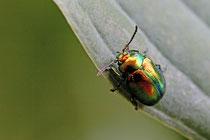 Prächtiger Blattkäfer (Chrysolina fastuosa)