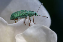 Seidiger Glanzrüssler (Polydrusus formosus)