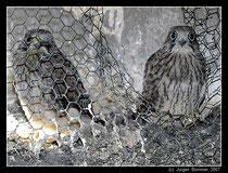Junge Turmfalken (falco tinnunculus), aufgenommen im Dielmisser Kirchturm