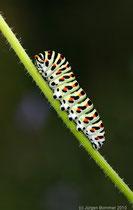 Schwalbenschwanzraupe (papilio machaon) auf Wilder Möhre (daucus carota)