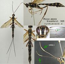 ジョウザンオナガバチ Rhyssa amoena Gravenhorst, 1829 (= jozana Mats.) female
