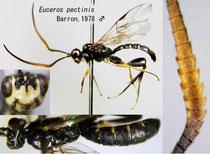 Euceros pectinis Barron, 1978 male