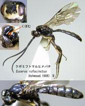 クボミフトマルヒメバチ Euceros rufocinctus (Ashmead, 1906)  female (metasoma black)