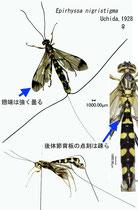 ツマグロオナガバチ  Epirhyssa nigristigma Uchida, 1928 female
