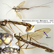 オオアメイロオナガバチ Megarhyssa gloriosa (Matsumura, 1912) female
