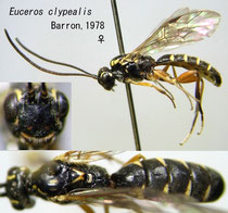 Euceros clypealis Barron, 1978  female
