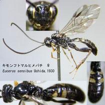 キモンフトマルヒメバチ Euceros sensibus Uchida, 1930 female