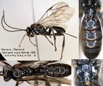 クロツヤヒラタヒメバチ Theronia (Theronia) laevigata nigra Uchida, 1928 female