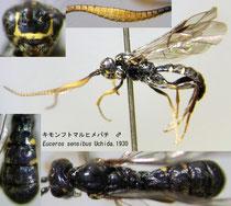 キモンフトマルヒメバチ Euceros sensibus Uchida, 1930  male