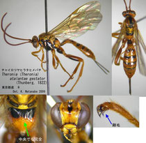 チャイロツヤヒラタヒメバチ Theronia (Theronia) atalantae gestator (Thunberg, 1822) female